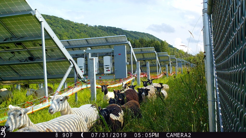 grazing in August in NY with CAB cabling, 2019
